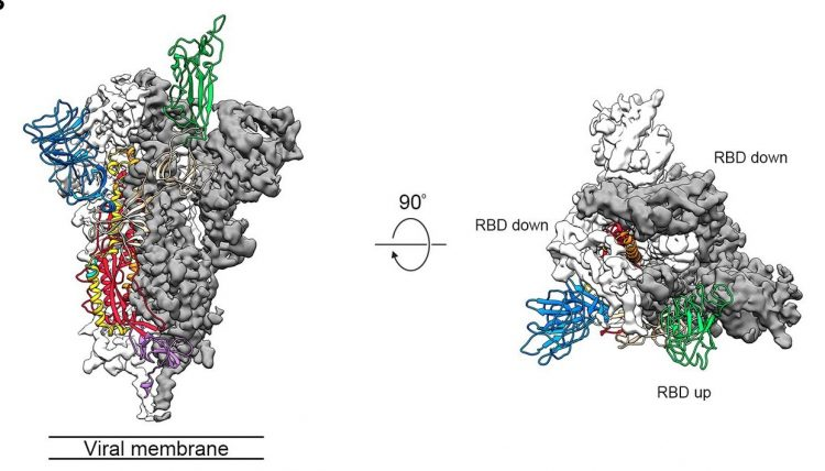 COVID-19 S protein trimer structure showing the two 'down' receptor binding domains in grey and single 'up' domain in green