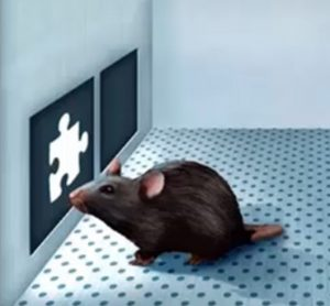 Cognitive Phenotypes in MS Mouse Models