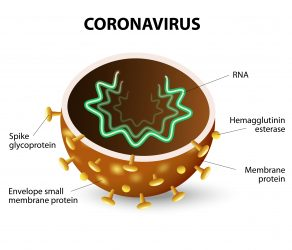 Coronavirus structure