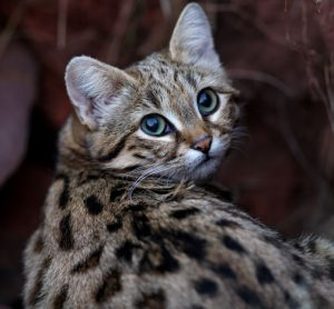 DNA Blackfooted cat