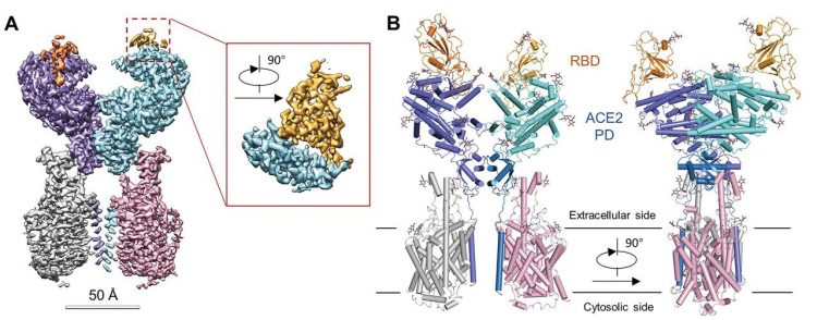 protein structure diagram of SARS-CoV binding domain interacting with ACE2-B0AT1 complex