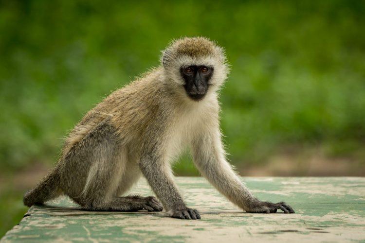 vervet monkey sat facing the camera