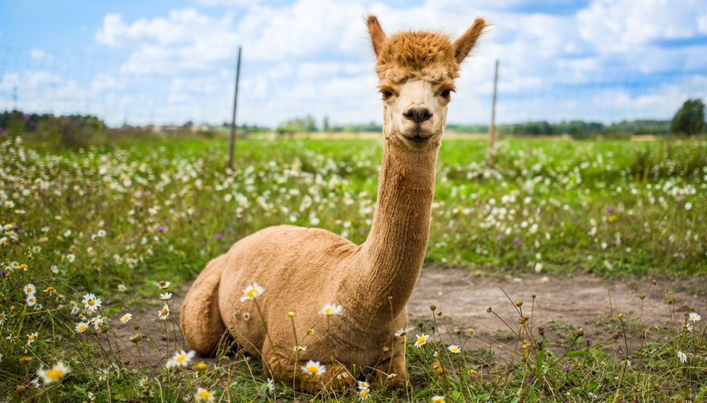 Alpaca immune system reveals a potential treatment for cancer