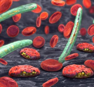 red blood cells with malaria parasite bursting out of them