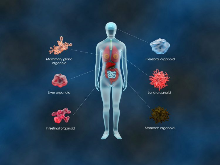 diagram of different organoids from different bodily tissues, including brain, stomach and lung