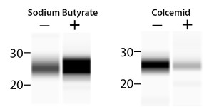 FIGURE 1. Analyzing post-translational modifications of Histone H3 is no problem for Peggy Sue. Left: HeLa cell lysate from cells stimulated with sodium butyrate was probed with anti-acetyl Histone H3 (Lys9) to characterize changes in acetylation. Right: Methylation was analyzed in lysate from HeLa cells stimulated with colcemid and probed with anti-dimethyl Histone H3 (Lys39).