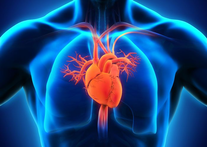 FUNDC1 protein in cardiac muscle cells linked to heart failure