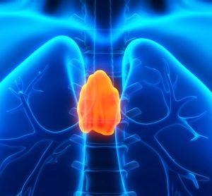 Human thymus