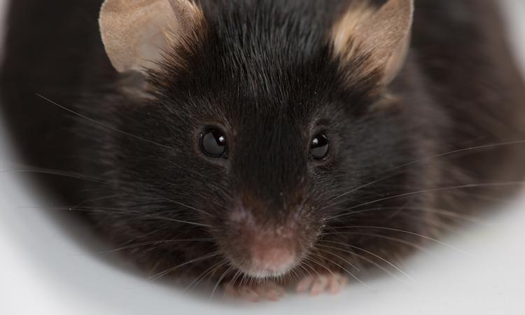 fat mouse